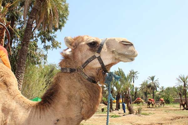 Camel Ride & Quad Bike & Spa Treatment Marrakech